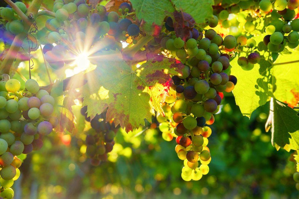 uve rosso di montalcino